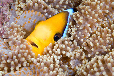 Clown fish in an anemone on a coral reef in Fiji